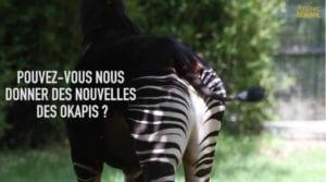 okapi 300x167 - Au plus près des animaux